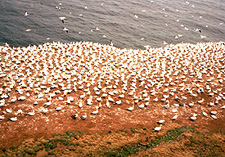 Northern gannet colony. (Photo - Matthew Farfan)