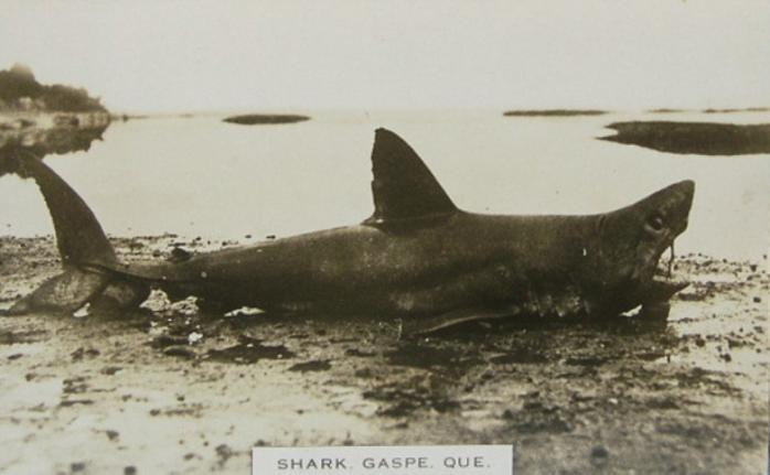 Requin, Gaspé, vers 1910 / Shark on the beach, Gaspé. c.1910